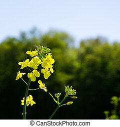 Rape seed flower - Closeup of a rape seed flower at dark...