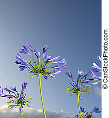 African blue lily against a blue sky