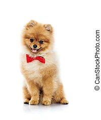 Little funny spitz with bow tie