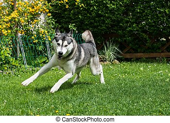 Beautiful husky playing on a green meadow