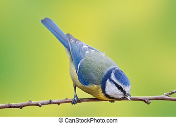 Blue tit, Parus caeruleus on a branch. Shallow depth of...