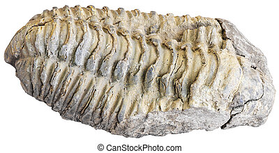 Fossilized trilobite isolated on white background