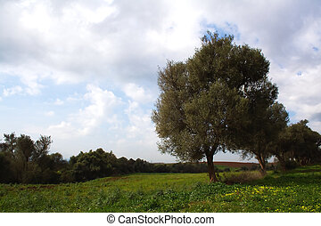 Olive tree in field in Algeria - Olive tree in field close...