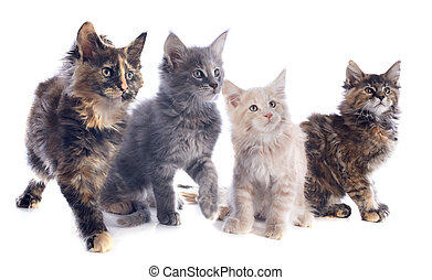 maine coon kitten - portrait of four purebred maine coon...