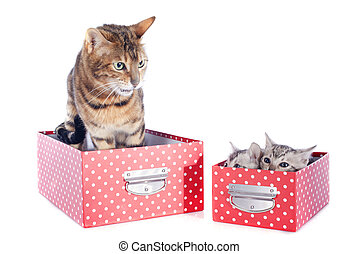 bengal family in box