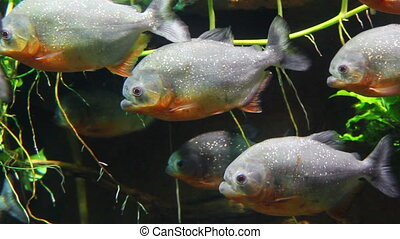 piranhas fish underwater