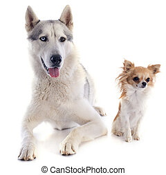 siberian husky and chihuahua - portrait of a beautiful...