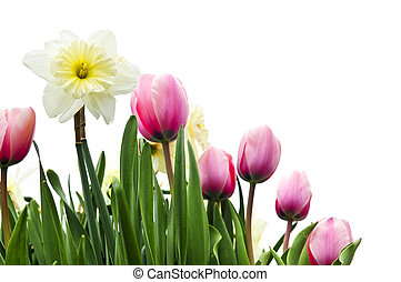 Tulips and daffodils on white background - Tulips and...