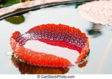 water lily leaf in Basin