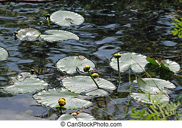Lily Pads and flowers on a pond