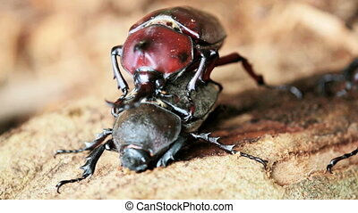 Beetle courtship for adv or others purpose use