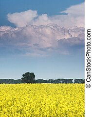 field of rapeseed with beautiful cloud - field of rapeseed...