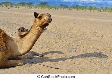 Two camels looking to distance