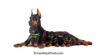 Doberman, perro, perritos