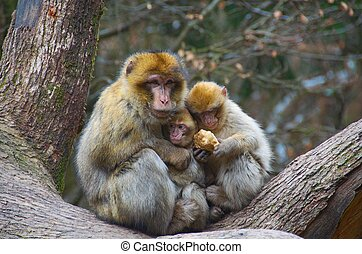 Monkey Love - A barbary macaque monkey mother feeding,...