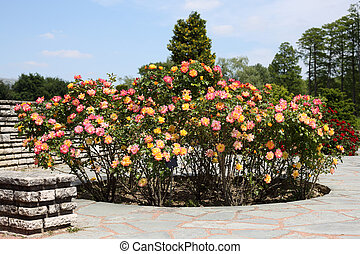 Rose garden - Details of a wonderful rose garden or rosarium...