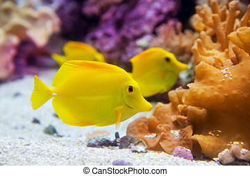 yellow tang fish Zebrasoma flavesenes on artificial reef