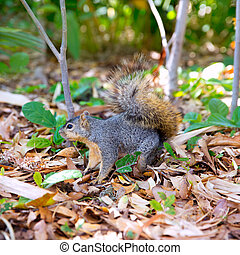 Eastern Gray Squirrel Sciurus carolinensis on park floor