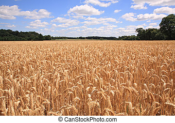Wheat field - Sunny wheat field just before the harvest