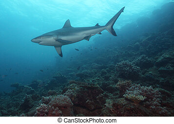 礁石, 鯊魚
