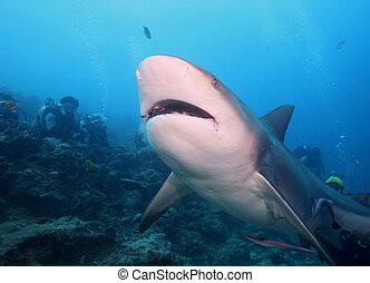 Bull Shark Zambezi Shark