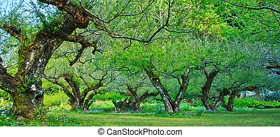 Peach trees orchard