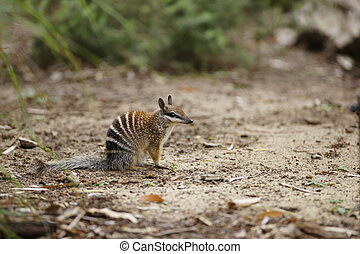 Numbat - A numbat assessing its surrounding for potential...