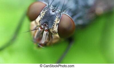 Gray flesh fly - Compound Eye - Gray flesh fly - Sarcophaga...