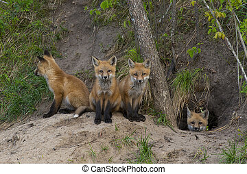 Young Red Foxes - Young Red foxes at their den