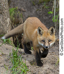 Sneaking Fox - Red Fox sneaking towards you