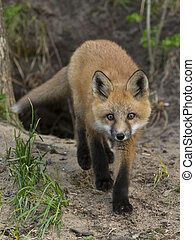 Walking Fox - Walking Red fox