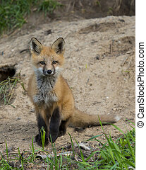 Young Fox sitting outside its den