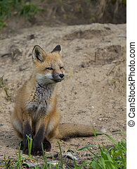 Red Fox - Young Fox sitting outside its den