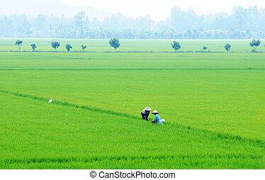 Rice field in Mekong Delta, Vietnam - The Mekong Delta is...