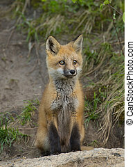 Young Fox - Young fox sitting outside its den