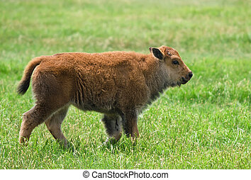 Buffalo calf - Cheerful looking buffalo calf walking on the...