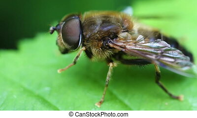 Hoverfly - Syrphidae in a super macro shot