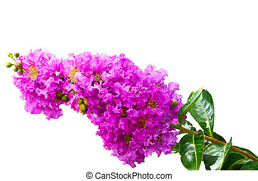 Lagerstroemia on white backgeound
