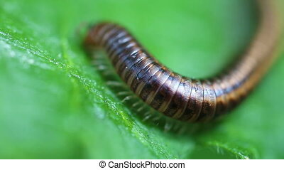 Millipede - Myriapoda in food intake - macro shot - Zoom...