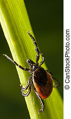 Red backed tick on a plant - Closeup of a red backed tick on...