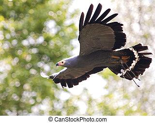 hen harrier bird in flight on a natural background