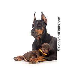doberman, cane, cucciolo