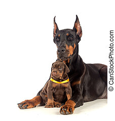 Doberman dog with puppy - Black Doberman dog with puppy on...