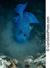 Blue triggerfish (Pseudobalistes fuscus) in the Red Sea,...