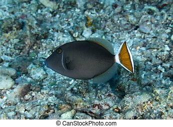 Bluethroat triggerfish Sufflamen albicaudatus in the Red...