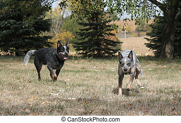 Blue Heeler Dogs - Blue heeler dogs playing in the yard