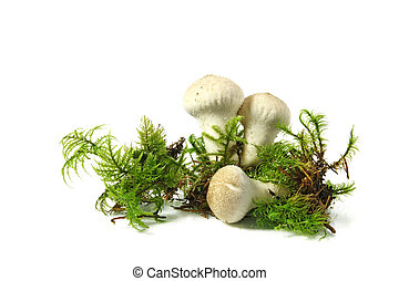 Mushroom - common puffball (Lycoperdon perlatum), isolated
