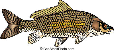 fish carp - nice fish carp isolated on white background