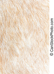 boer goat wool background - close up of boer goat wool...