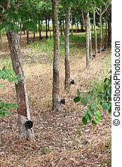 Para rubber tree garden in Thailand - Para rubber tree...